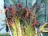 Sorghum, Rainbow Broomcorn, 7 g