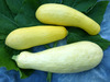 Early Prolific Straightneck Summer Squash, bulk size: 28 g