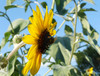 Sunflower, Silverleaf, 0.5 g