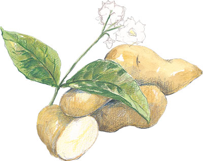 Swedish Peanut Fingerling 1 lb SEED POTATO
