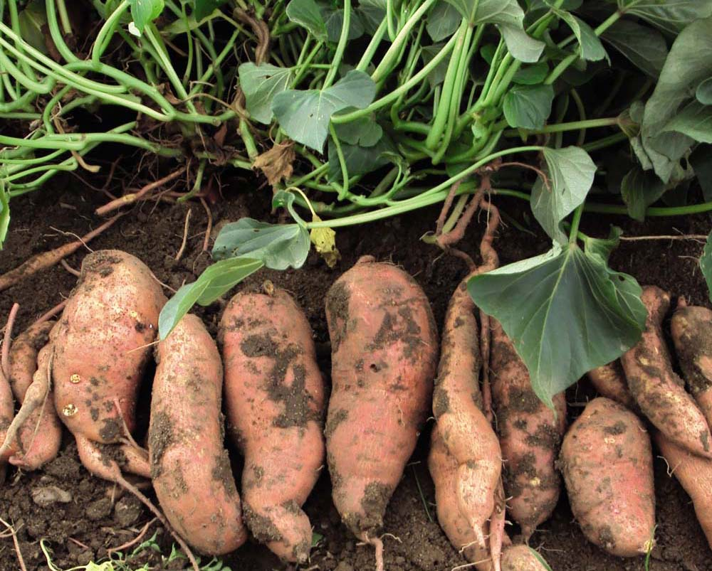 Sweet Potato Growing Guide