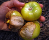 Everona Large Green Tomatillo, 0.09 g