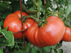 Granny Cantrell's German Red/ Pink Tomato, bulk size: 1.5 g