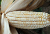 Virginia White Gourdseed Corn ½ lb