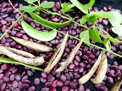Worchester Indian Red Pole Pole Lima Bean 28 g