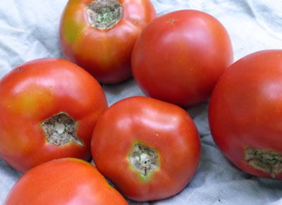 Abraham Lincoln (Early Abe Lincoln) Tomato 1.5 g