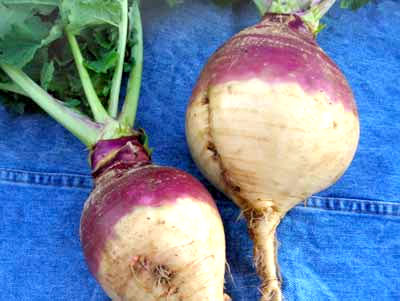 American Purple Top Yellow RUTABAGA 2 g