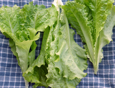 Australian Yellow Looseleaf Lettuce 0.5 g