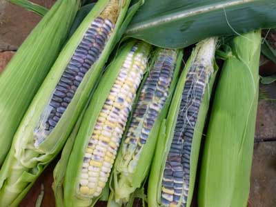 Black Mexican (Mexican Sweet, Black Iroquois) Sweet Corn 28g