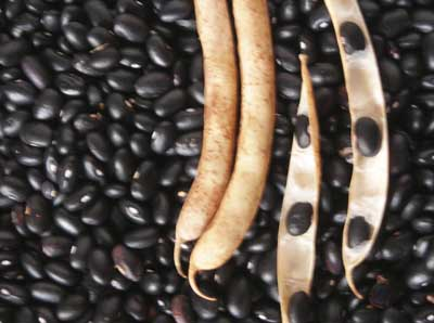 Black Turtle Bush Dry Bean, bulk size: 1/2 lb
