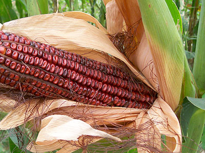 Bloody Butcher Dent Corn 1 lb