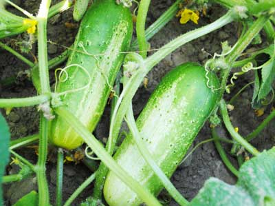 Boston Pickling Pickling Cucumber 2g