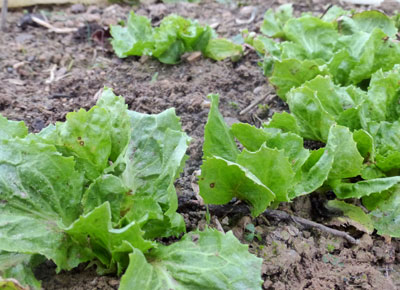 Broad-Leaved Batavian Endive (Full Heart Escarole) 1 g