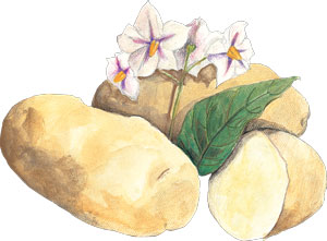 Butte, 1 lb SEED POTATO