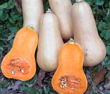 Burpee's Butterbush SQUASH, WINTER 4 g