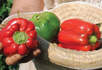Carolina Wonder Sweet Bell Pepper 0.3 g