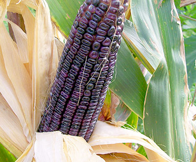 Cherokee White Eagle CORN, DENT 228 g