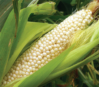 Country Gentleman (Shoepeg) Sweet Corn 28g