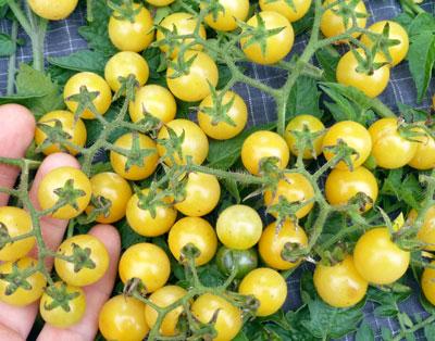 Coyote Cherry tomato