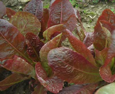Devil's Tongue Looseleaf Lettuce 0.5 g