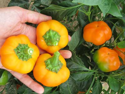 Doe Hill Golden Bell Sweet Pepper 0.3 g