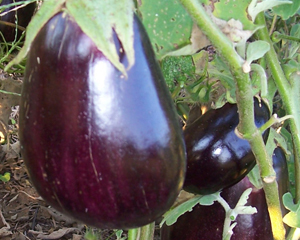 Black Beauty EGGPLANT 3 g