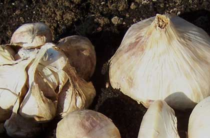 Red Toch Softneck Garlic 8 oz.