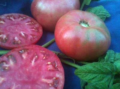 Grandfather Ashlock Tomato 0.16 g