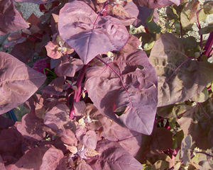 Magenta Magic Orach 0.5 g