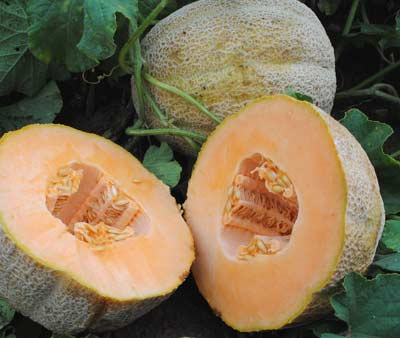 Hales Best Muskmelon 2 g