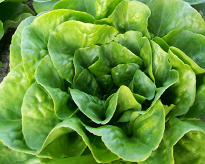 Winter Density LETTUCE, BUTTERCOS 7 g