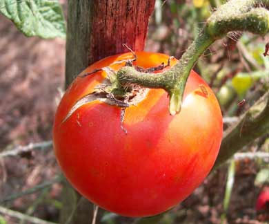 Marglobe VF (Marglobe Improved) Tomato 7 g