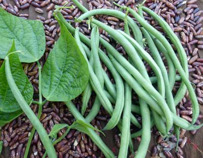Maxibel Filet Bush Snap Bean 14 g