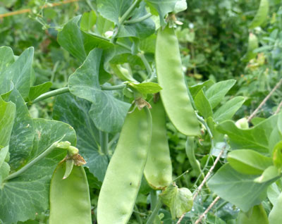 Oregon Giant Dwarf Snow Pea 1 lb