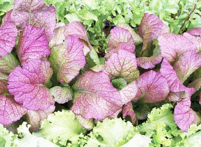 Red Giant Mustard 2 g