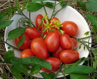 Red Pisa Date Cherry Tomato 0.08 g