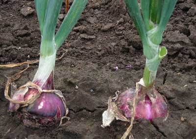Red Wethersfield Dry Bulb Onion 3 g