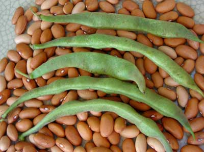 Romano 14 Bush Snap Bean 1/4 lb