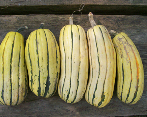 Delicata Zeppelin SQUASH, WINTER 2 g