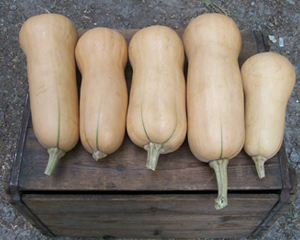 Waltham Butternut SQUASH, WINTER 4 g