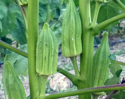 Star of David (Old Fashioned) Okra 4 g