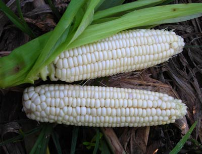 Stowell's Evergreen Sweet Corn 28g