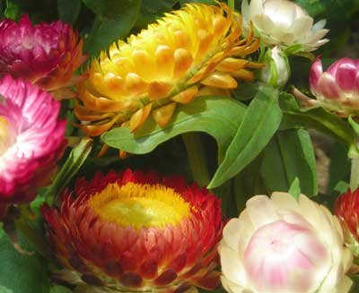 Strawflower Tall Mix 0.2 g