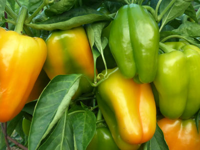 Sweet Jemison Sweet Bell Pepper 0.3 g
