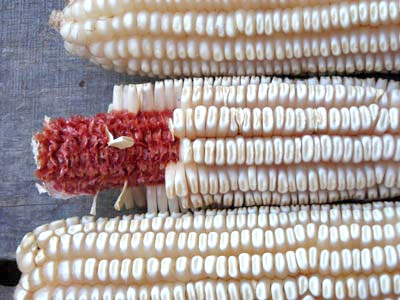 Tennessee Red Cob Dent Corn 1/2 lb