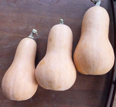 Waltham Butternut, Virginia Select Winter Squash 3 g