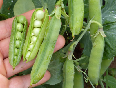 Wando Dwarf Shelling (English) Pea 1/2 lb