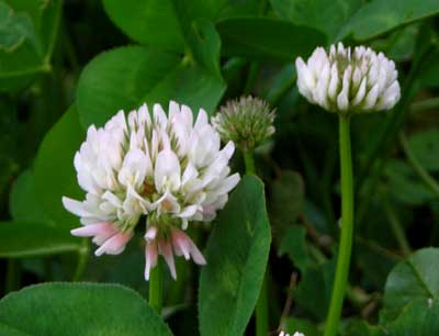 Clover, White Dutch 1/4 lb