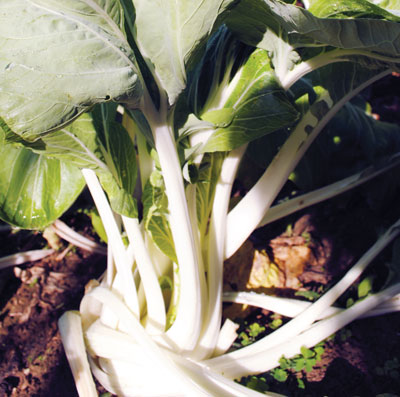 White-Stemmed Pak Choi Chinese Cabbage 2 g