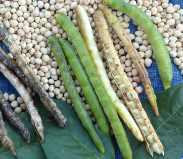 Yellow Ripper Southern Pea (Cowpea) 28 g